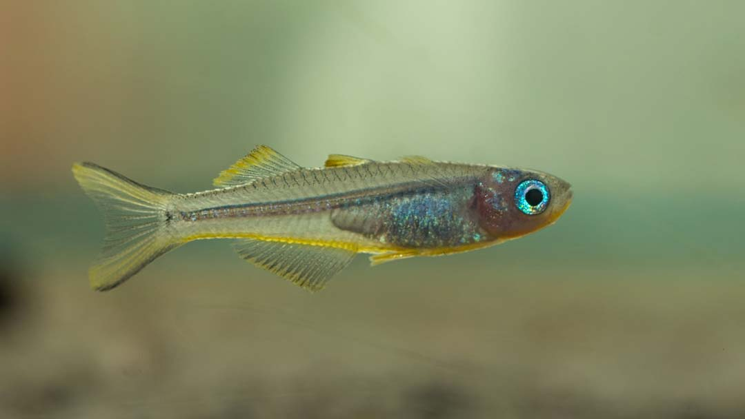 gabelschwanz-regenbogenfisch-pseudomugil-furcata