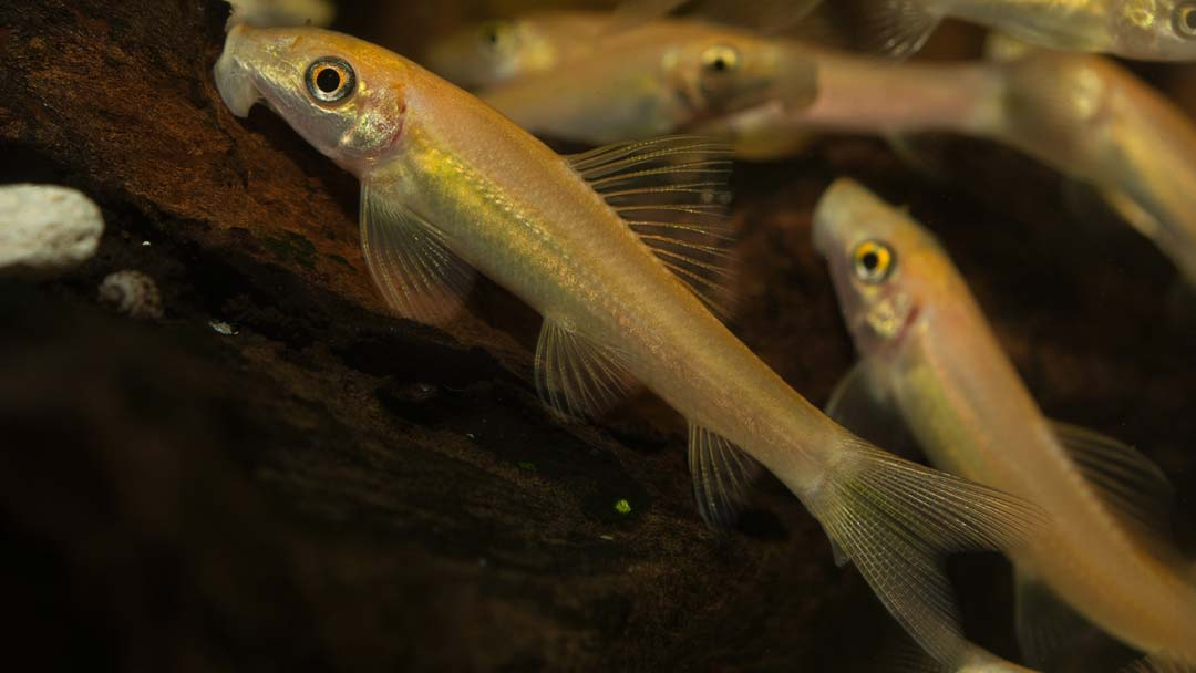 Goldene Saugschmerle - Gyrinocheilus aymonieri