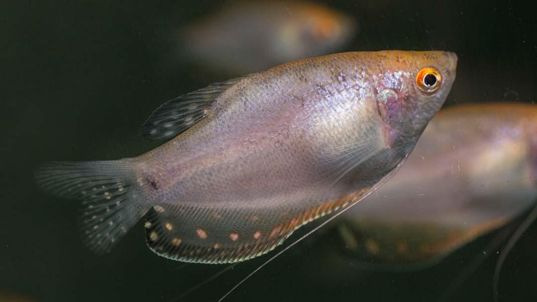 Goldfadenfisch - Trichogaster trichopterus var
