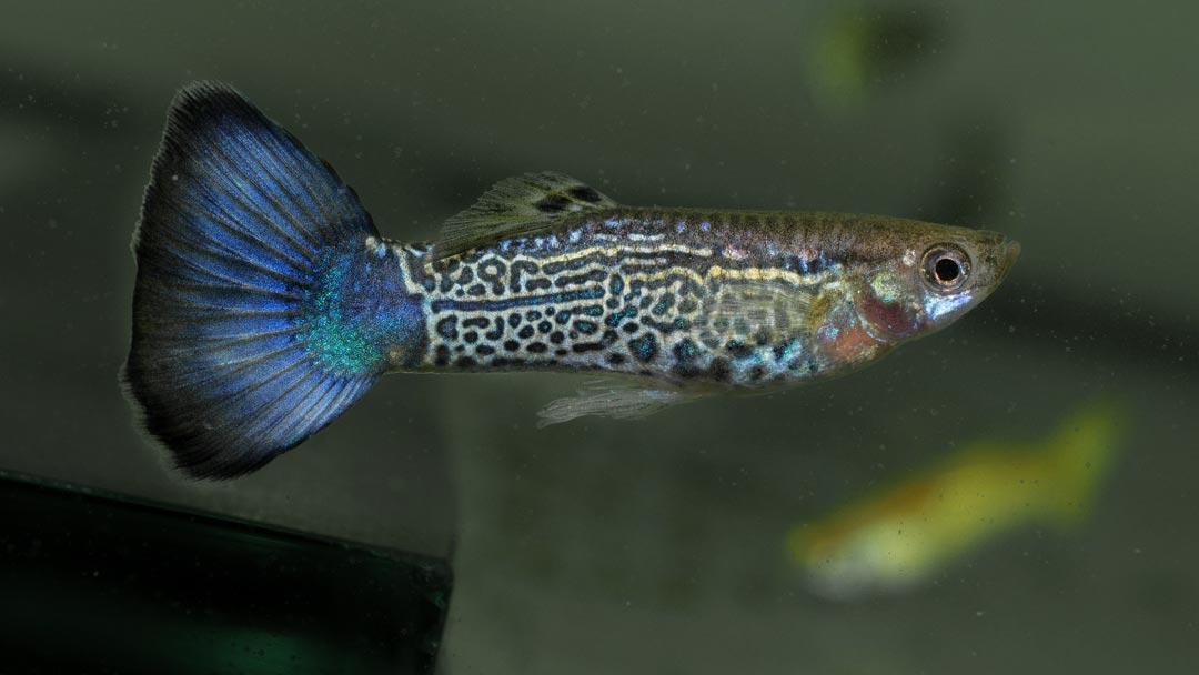 guppy-maennchen-king-cobra-blau-poecilia-reticulata