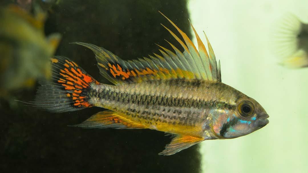 kakadu-zwergbuntbarsch-rot-apistogramma-cacatuoides