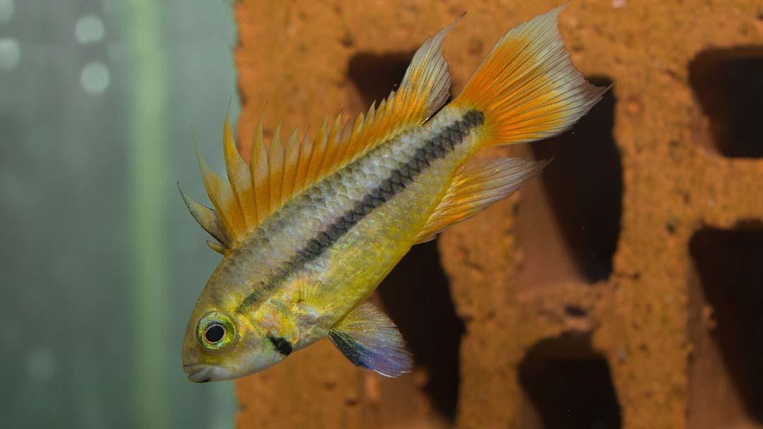 kakadu-zwergbuntbarsch-super-Orange-apistogramma-cacatuoides