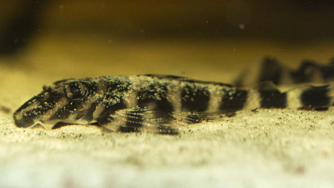 l052-butterfly-pleco-zonancistrus-sp