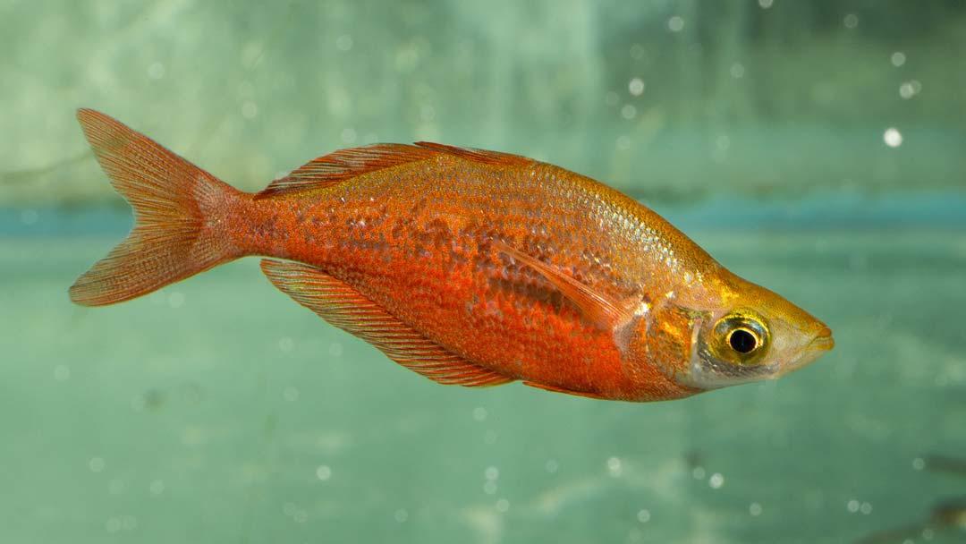 lachsroter_regenbogenfisch_glossolepis_incisus