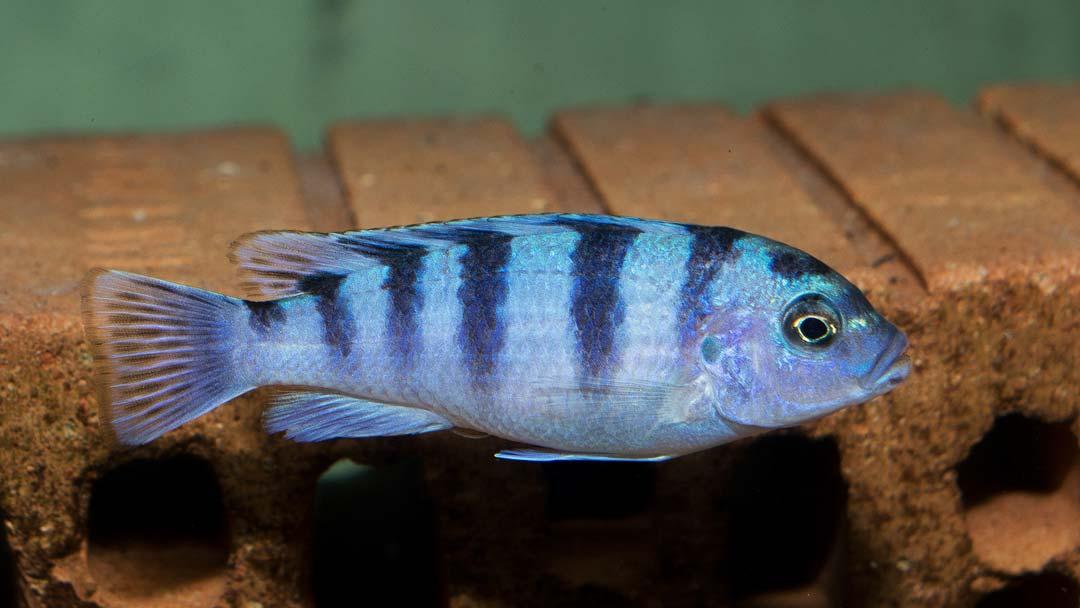 lombardoi-buntbarsch-pseudotropheus-lombardoi