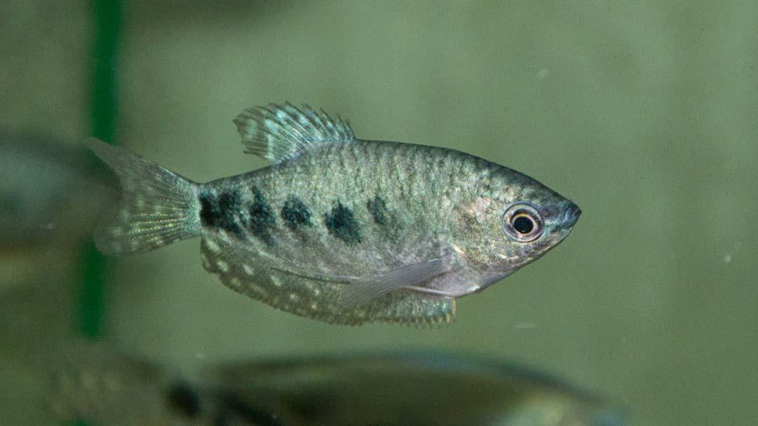 marmorfadenfisch-trichogaster-trichopterus-cosby