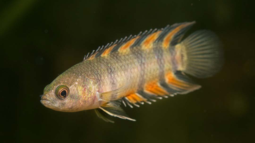 orange-buschfisch-microctenopoma-ansorgii