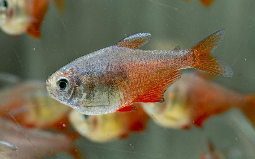 Roter von Rio – Hyphessobrycon flammeus