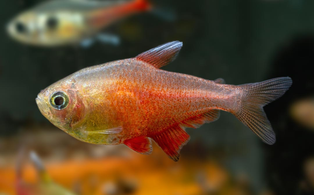 Roter von Rio Orange – Hyphessobrycon flammeus