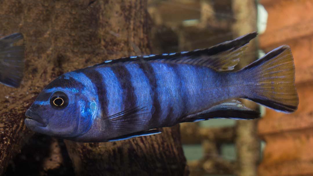 schmalbarsch-pseudotropheus-elongatus