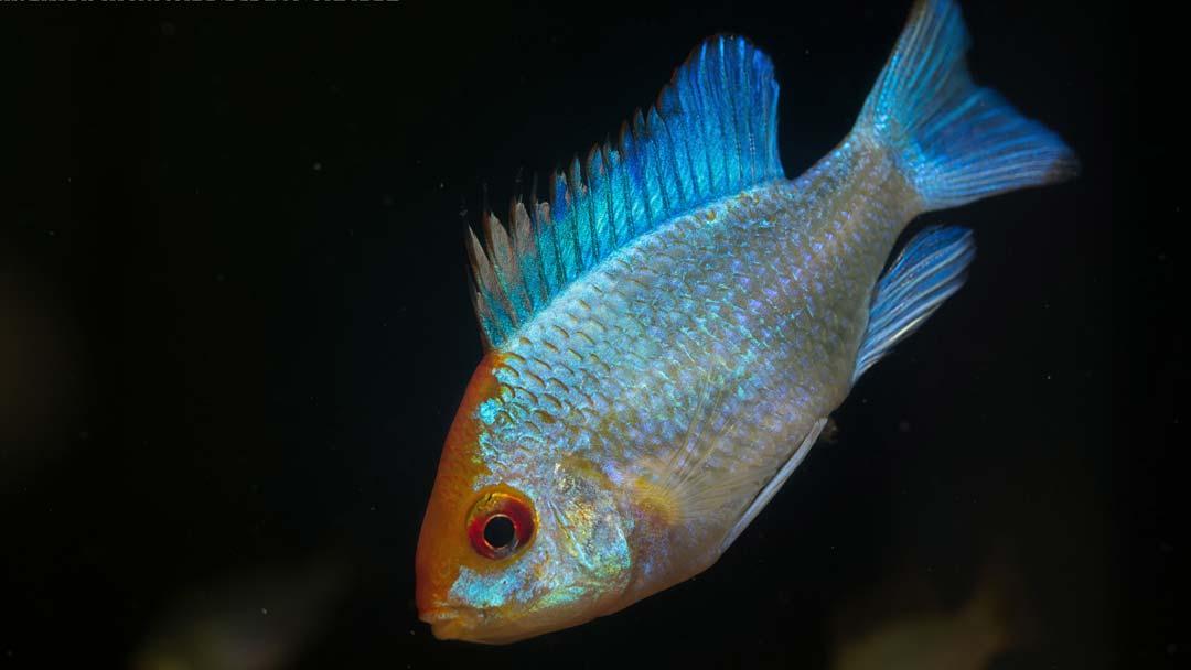 schmetterlingsbuntbarsch-electric-blue-goldkopf-mikrogeophagus-ramirezi-electric-blue