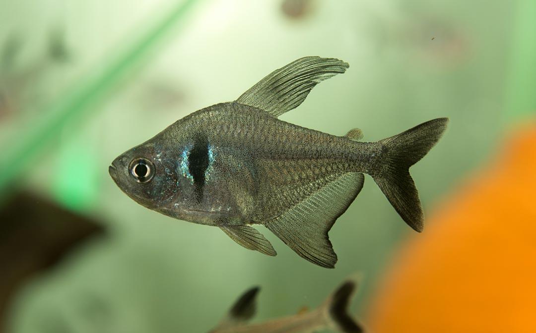 Schwarzer Phantomsalmler - Hyphessobrycon megalopterus