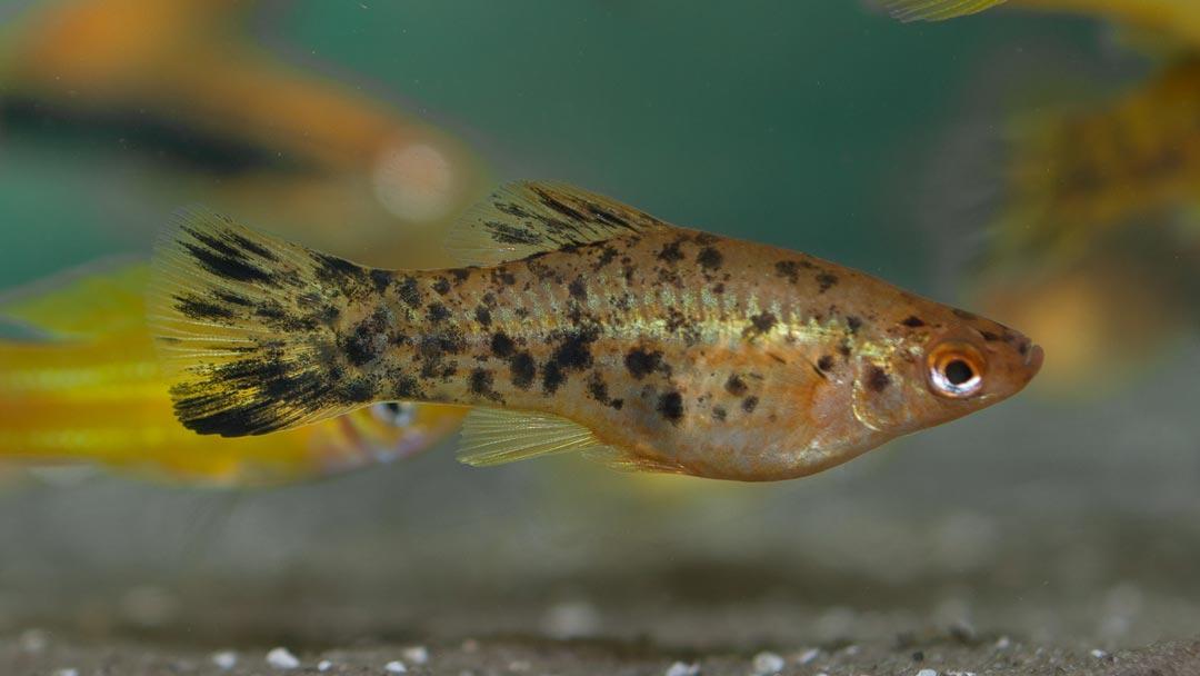 schwertträger-calico-berlin-xiphophorus-helleri