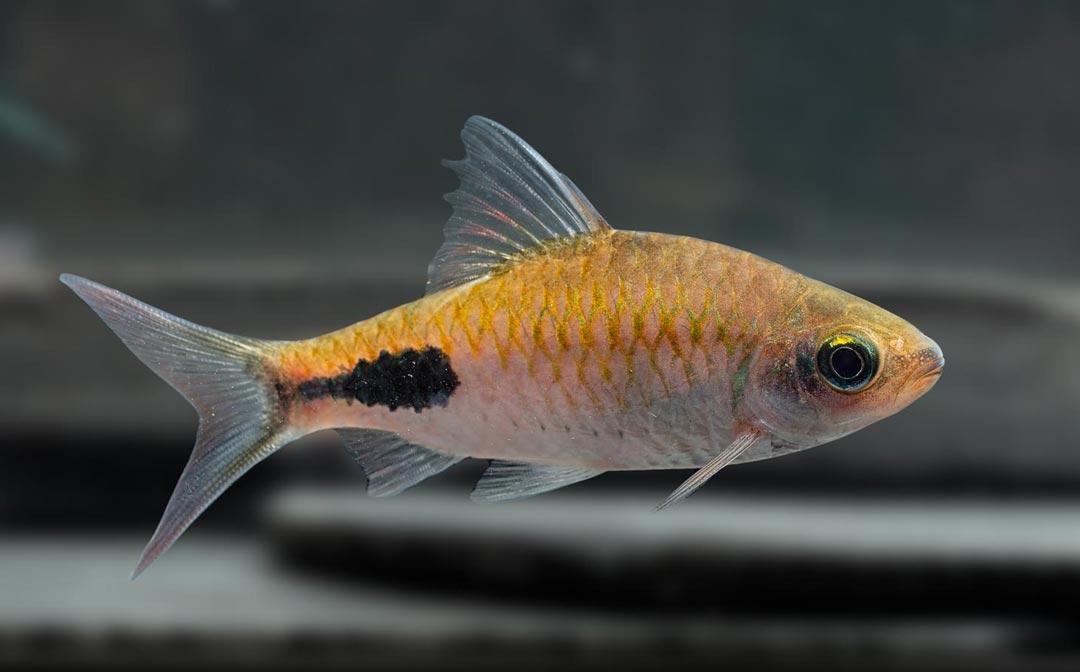stockliste-barben-aquarium-lutter