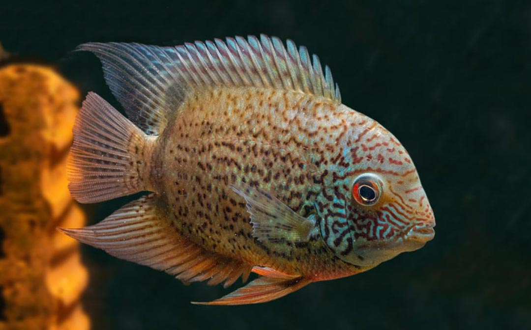 stockliste-barsche-amerika-aquarium-lutter