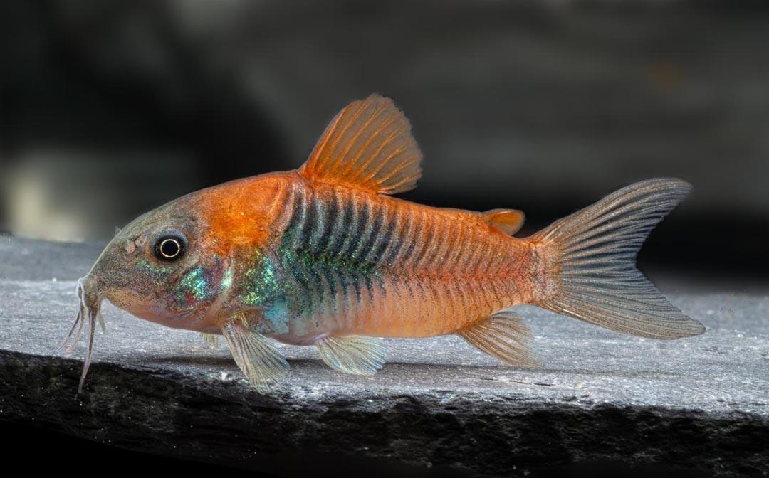 stockliste-panzerwelse-aquarium-lutter
