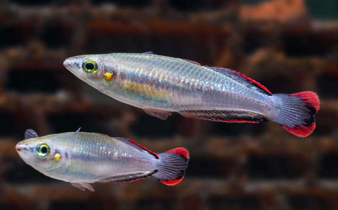 stockliste-regenbogenfische-aquarium-lutter