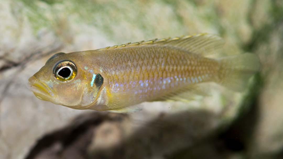 tanganjika-schneckenbuntbarsch-gold-lamprologus-ocellatus