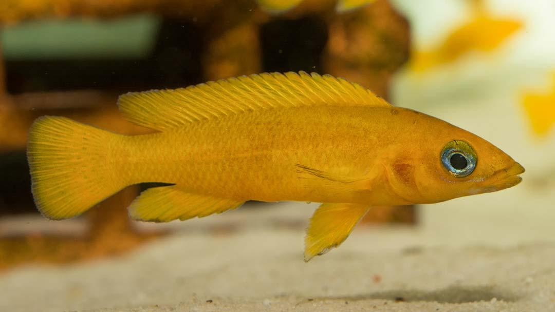 tanganjikasee-goldcichlide-neolamprologus-leleupi-b
