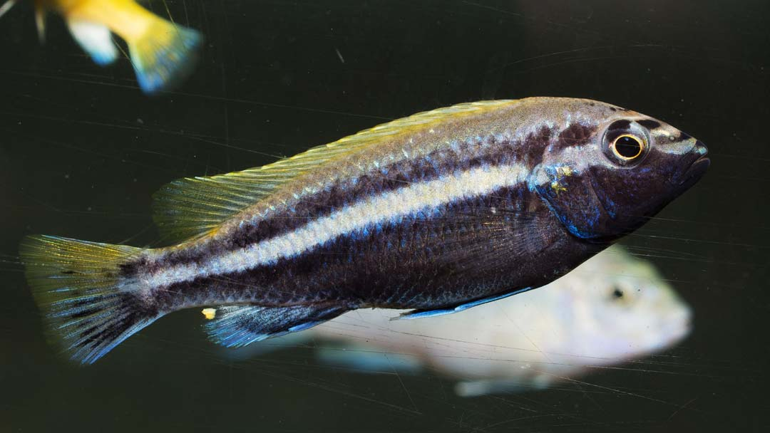 tuerkisgoldbarsch-melanochromis-auratus