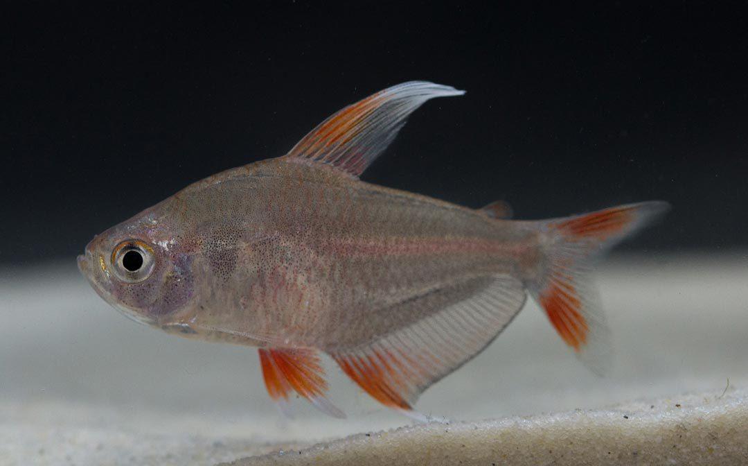 """Weissflossen Schmucksalmler - Hyphessobrycon ornatus """"White Fin"""""""