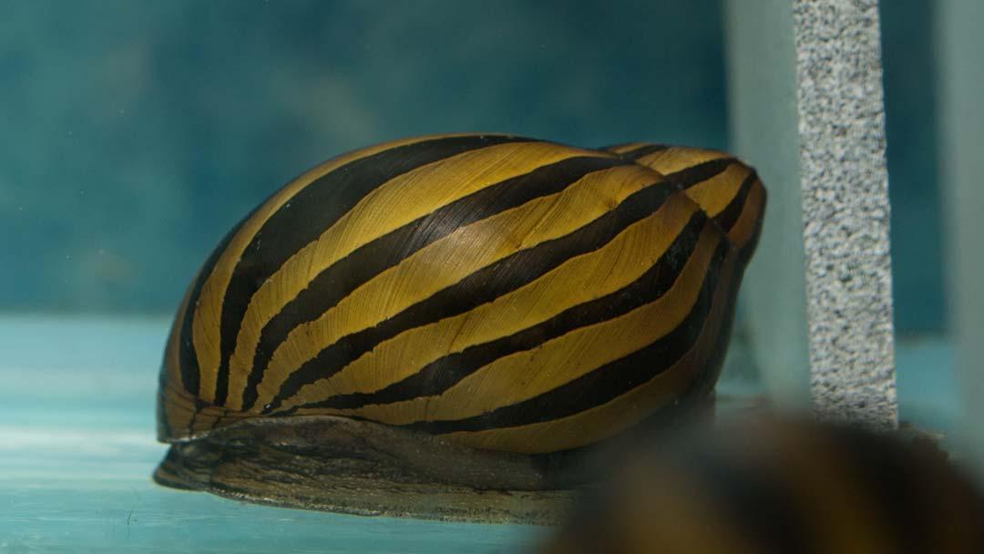 zebra-rennschnecke-neritina-zebra