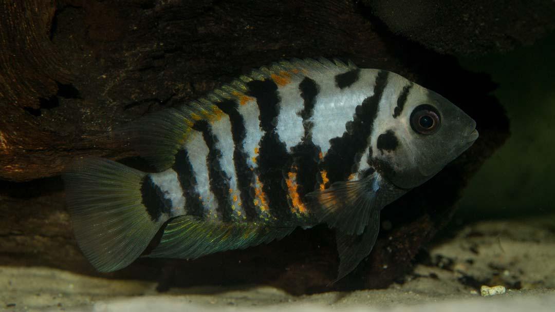 zebrabuntbarsch-cichlasoma-nigrofasciatum