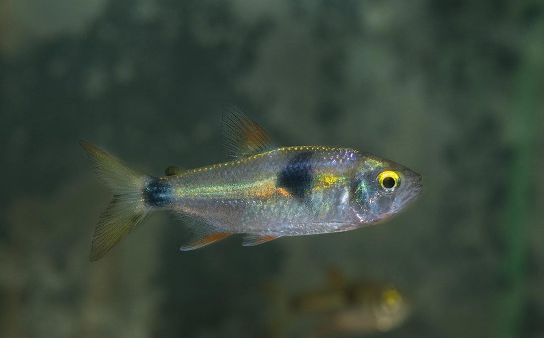 zweitupfen-raubsalmler-exodon-paradoxus
