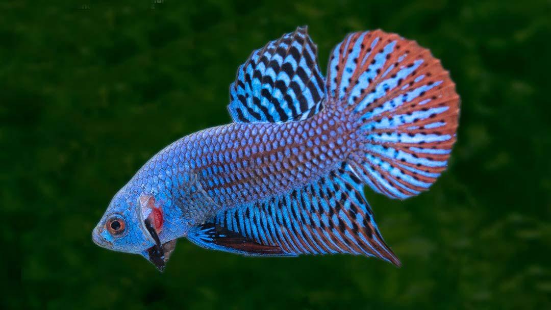 Kampffisch Alien Blue - Betta splendens