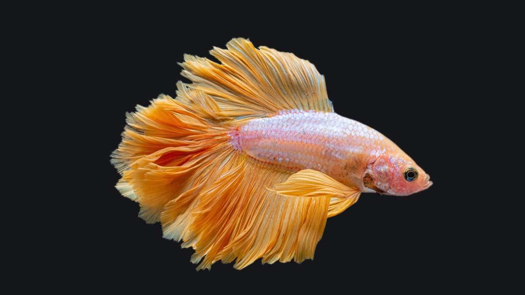 Kampffisch Männchen Rosetail - Betta splendens
