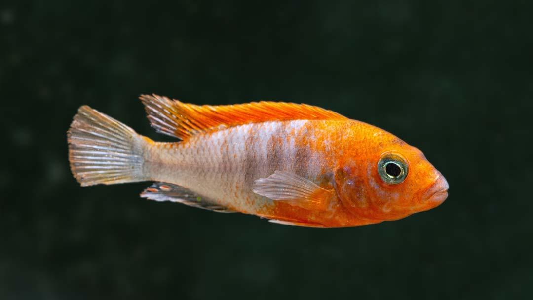 Rotrücken Labidochromis Super Red - Labidochromis hongi SCHWEDEN