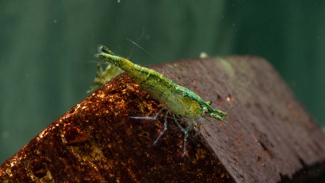 Grüne Zwerggarnele - Caridina babaulti green