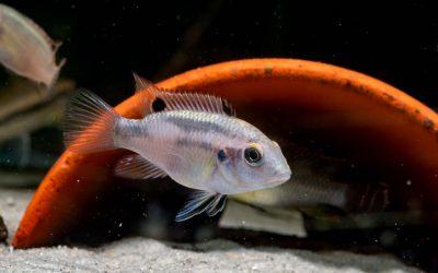 Schwarzflossen Prachtbarsch – Benitochromis nigrodorsalis