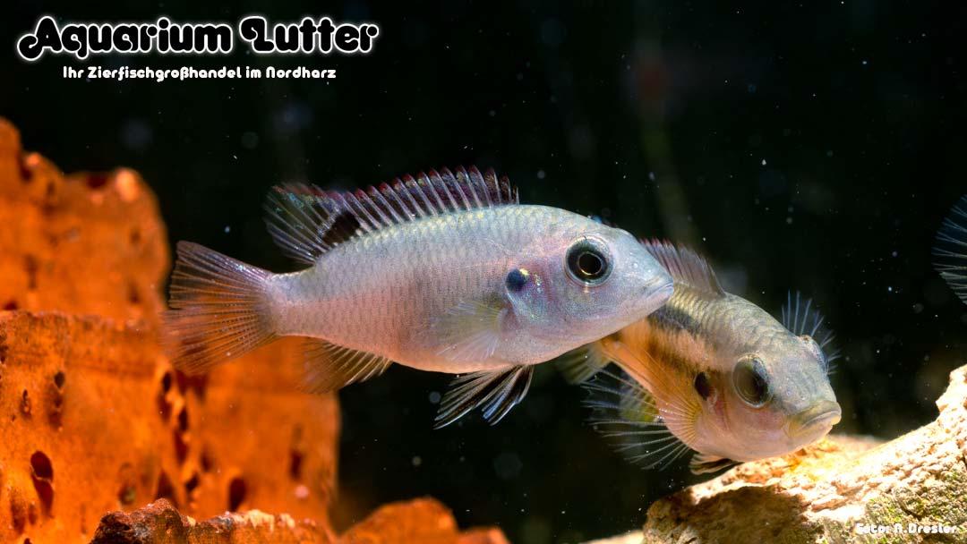 Schwarzflossen Prachtbarsch - Benitochromis nigrodorsalis