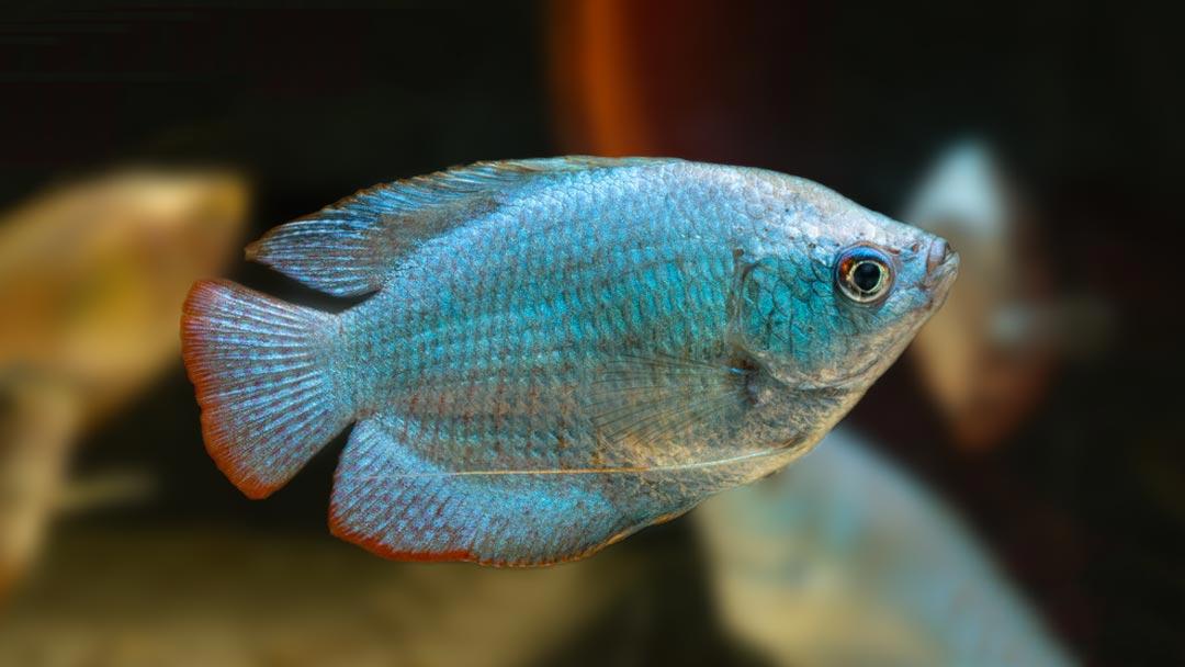 Kobaltblauer Zwergfadenfisch – Colisa lalia