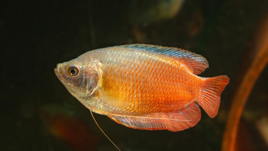 Rote Zwergfadenfisch - Colisa lalia