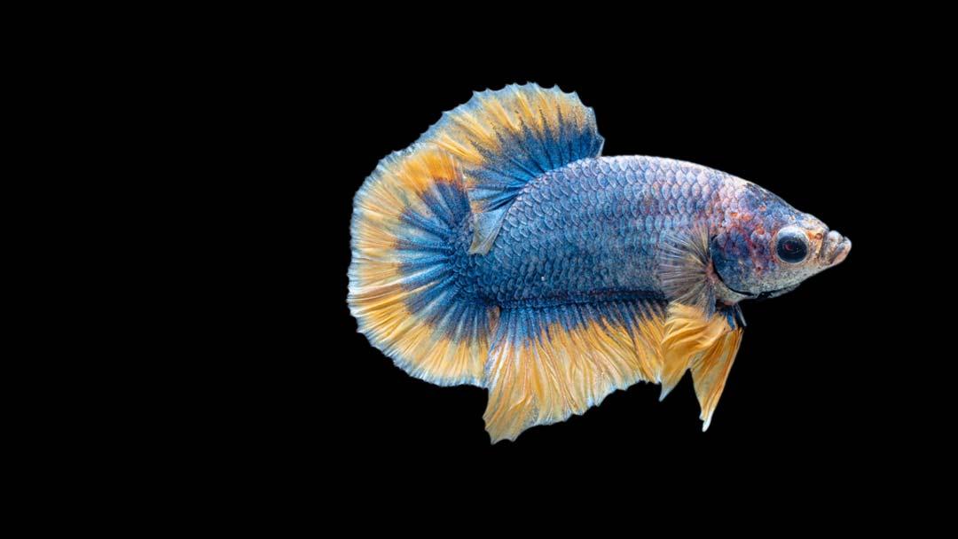 Kampffisch Männchen Plakat - Betta splendens