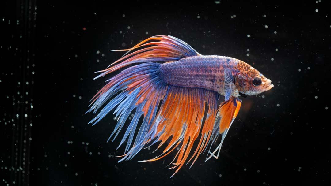 Kampffisch Männchen Crowntail - Betta splendens