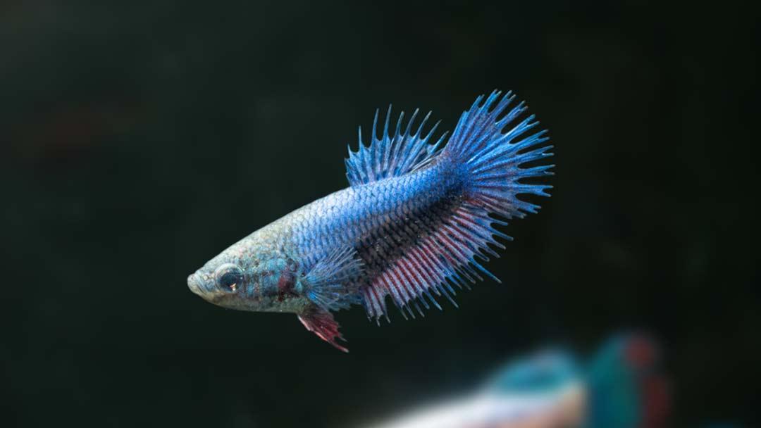 Kampffisch Weibchen Crowntail - Betta splendens