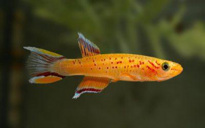 Bunter Prachtkärpfling – Aphyosemion australe