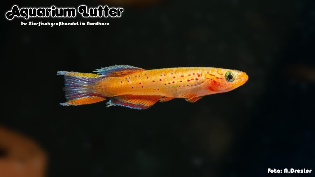 Kap Lopez Prachtkärpfling Gold - Aphyosemion australe