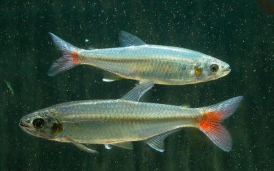 Laubensalmler – Aphyocharax alburnus