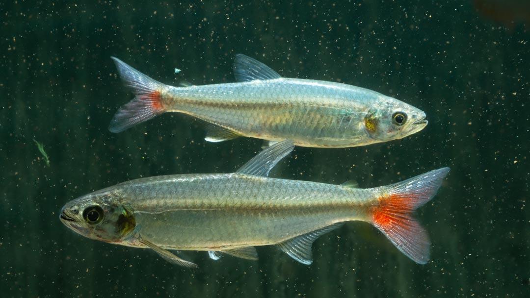 Laubensalmler - Aphyocharax alburnus
