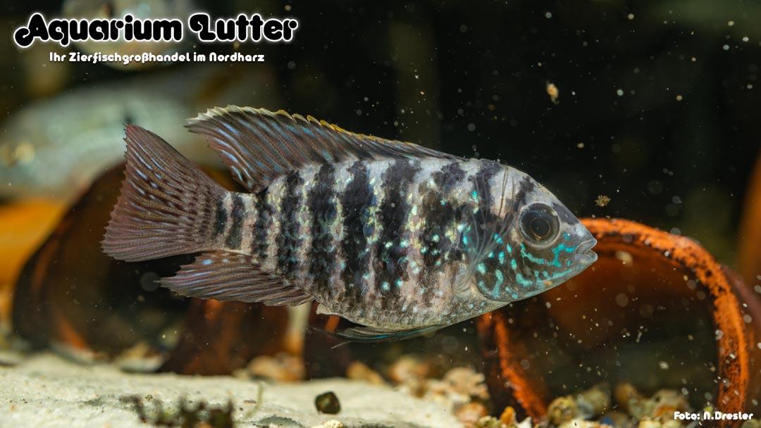 Blaupunktbuntbarsch - Andinoacara pulcher