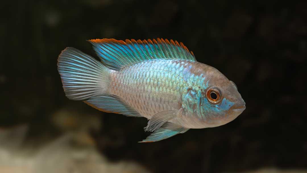 Blaupunktbuntbarsch Neonblau - Andinoacara pulcher sp.