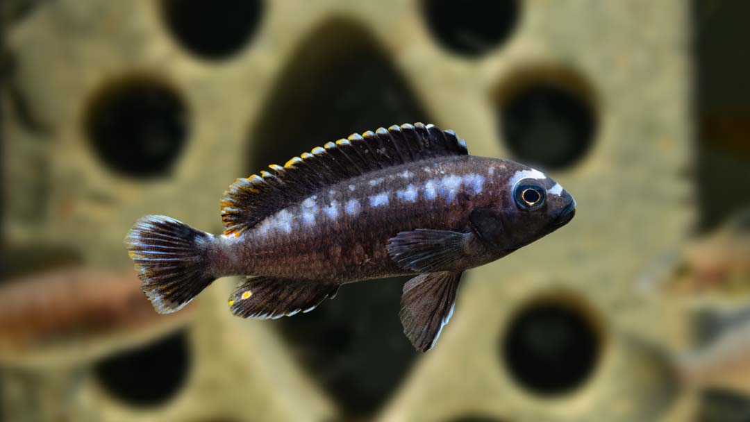 Kobalt Orangebarsch - Melanochromis johanni