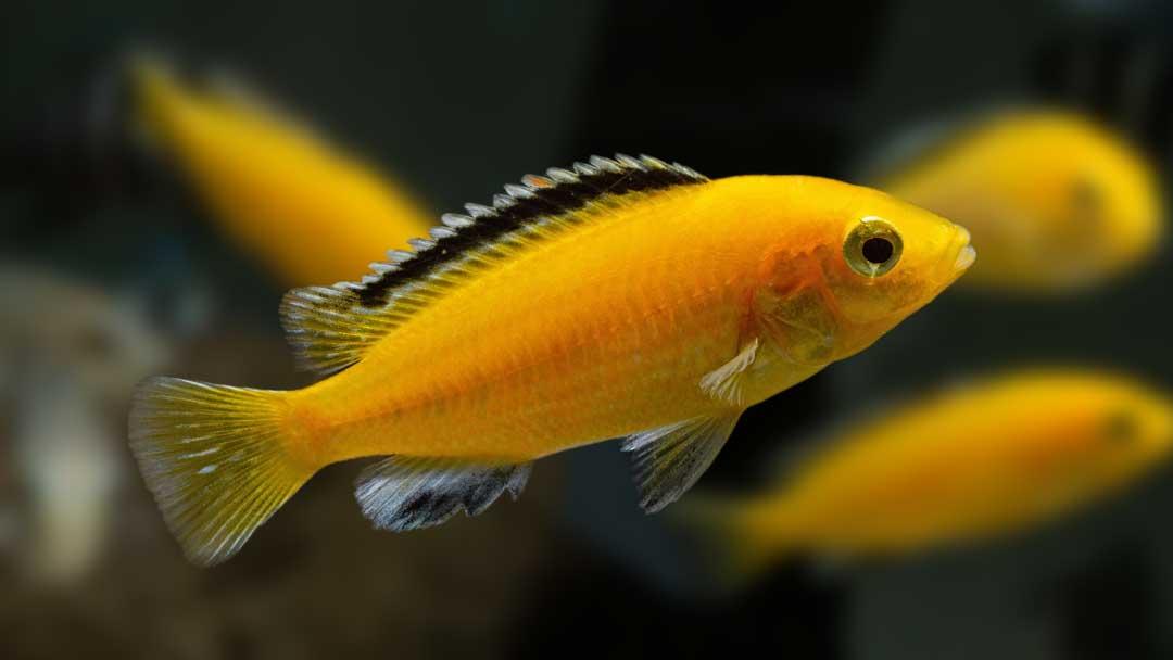 Gelber Labidochromis - Labidochromis caeruleus