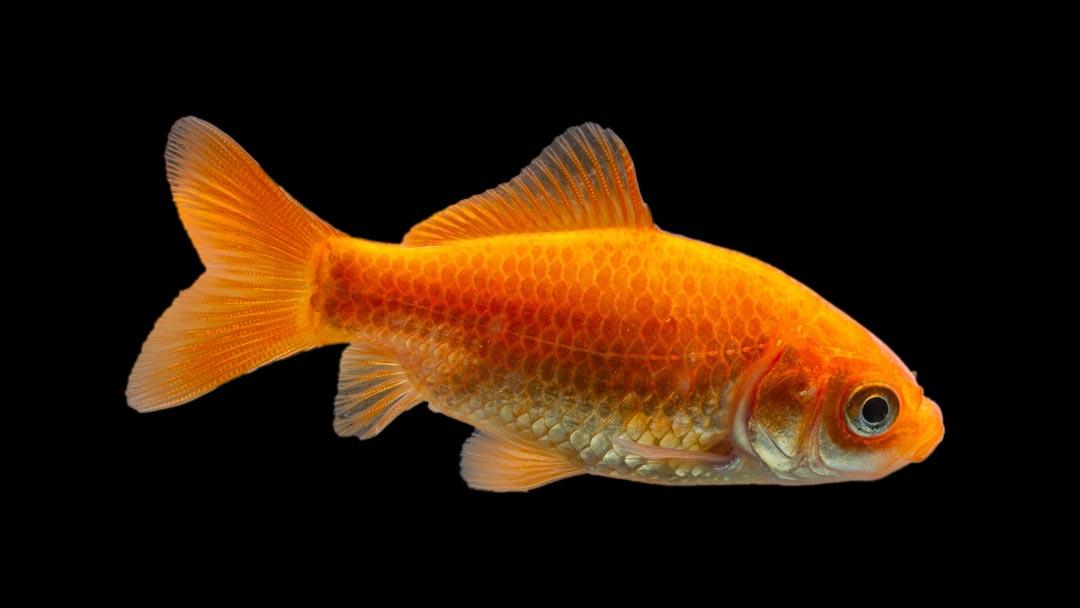 Goldfisch - Carassius auratus