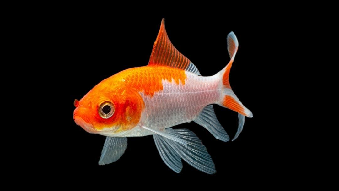 Sarasa Goldfisch - Carassius auratus