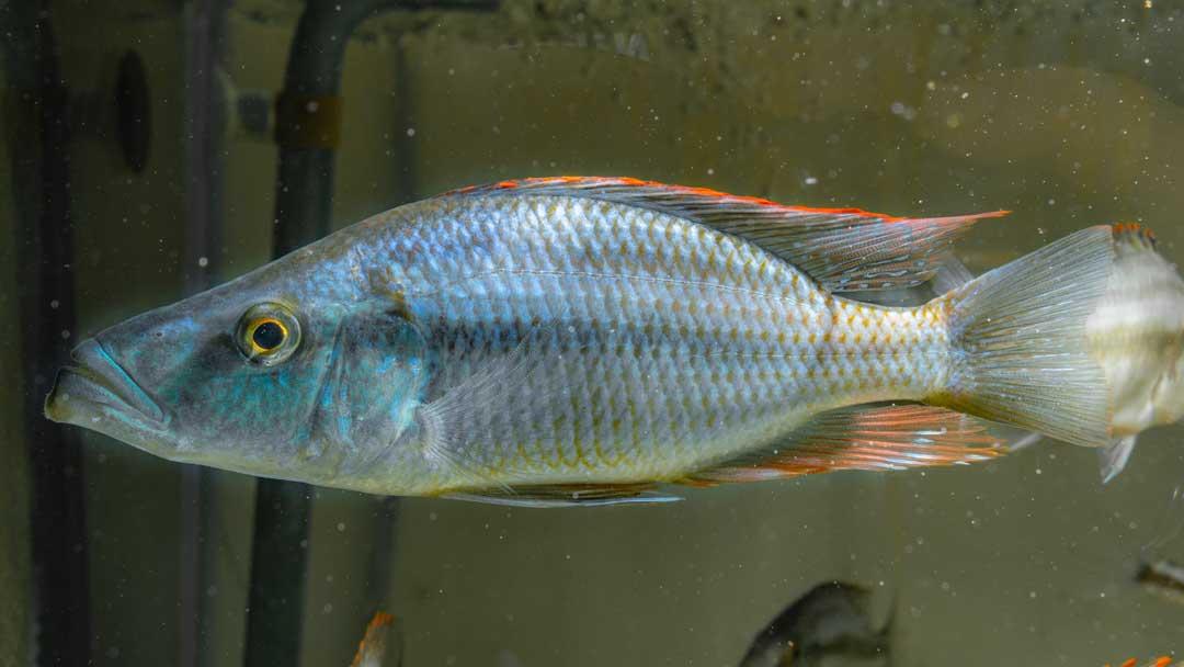 Messerbuntbarsch - Dimidiochromis compressiceps